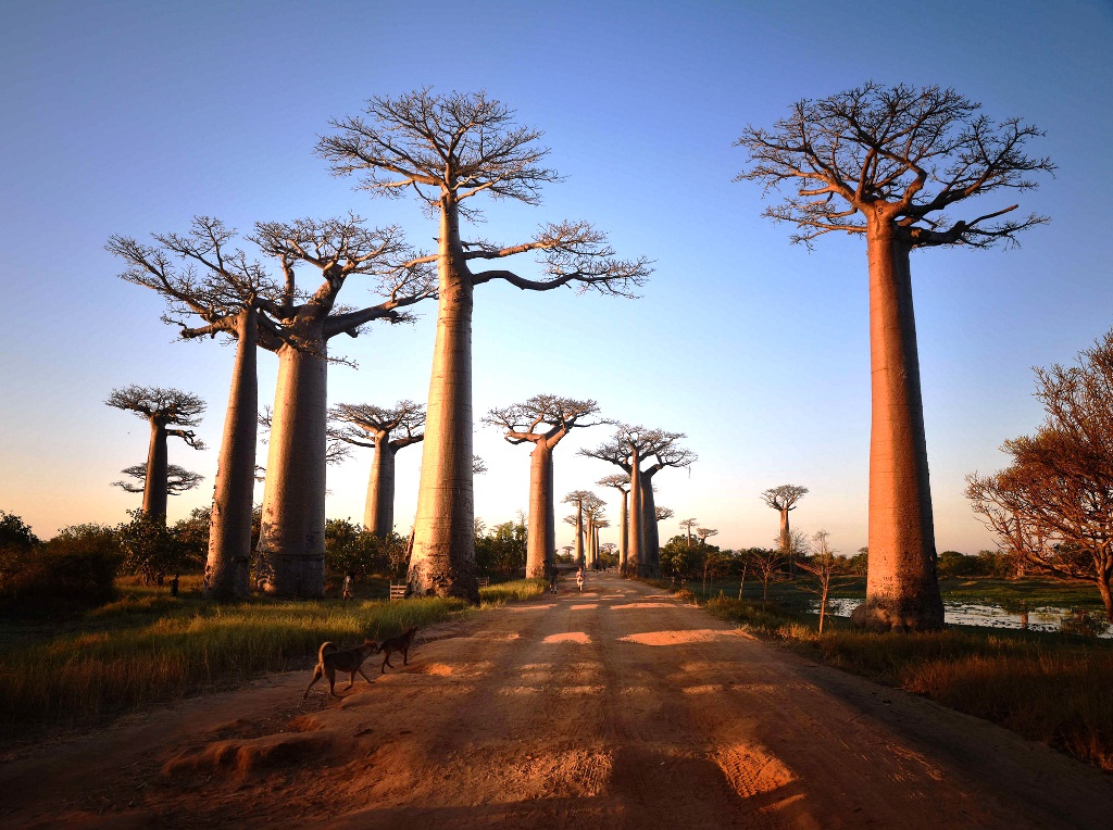 Avenue of the Baobabs, Madagascar-Smarttravel-BG